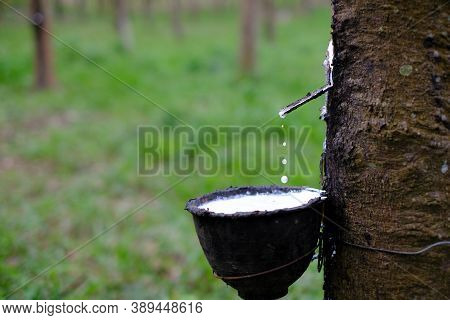 Rubber Tapping Fresh Milky Latex Flows From The Para Tree Into A Plastic Black Bowl
