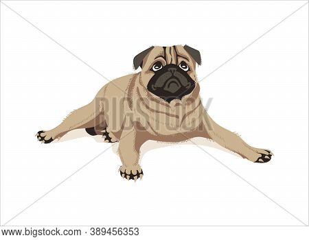Cute Lying Pug Dog. Adorable Friendly Purebred Chubby Pet Animal Of Beige Color With Wrinkled Muzzle