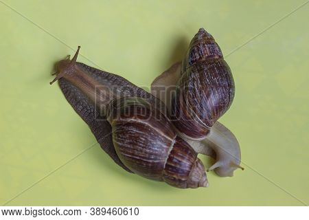Two Beautiful Dark And Light Achatina Snails Isolated On A Light Background On A Sunny Day. Macro-he