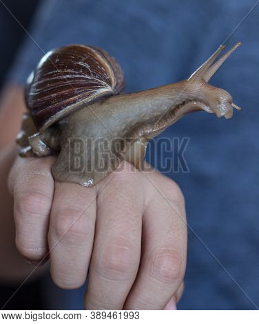 The Large Brown Snail Achatina Sits On Her Arm And Looks Away. Macro-healing Slime And Anti-aging Gi