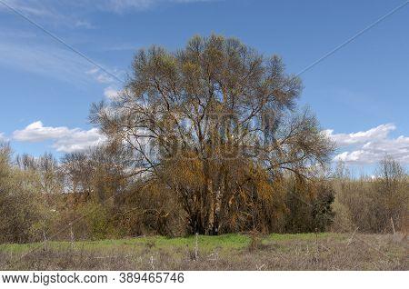 Narrow-leafed Ash Tree, Fraxinus Angustifolia, Next To The River Manzanares, In El Pardo, Madrid, Sp