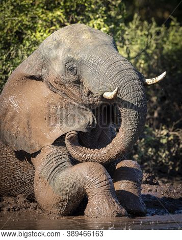 Vertical Portrait Of An Adult Elephant Sitting In Mud In Chobe River In Botswana