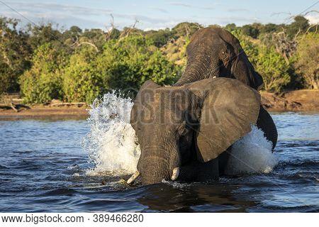 Two Elephants In Water Splashing In Afternoon Sunlight In Chobe River In Botswana