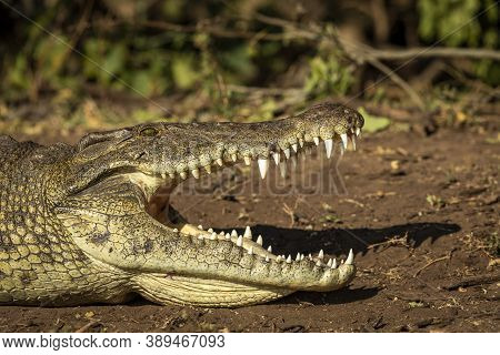 Nile Crocodile With Its Mouth Open Showing Big Teeth Lying On Brown Soil At The Edge Of Water In Cho