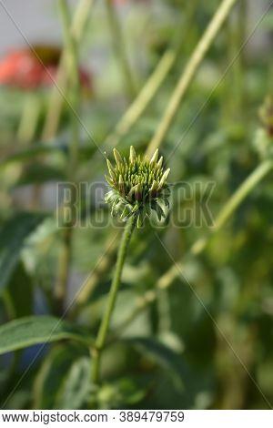 Coneflower Cheyenne Spirit Flower Bud - Latin Name - Echinacea Cheyenne Spirit