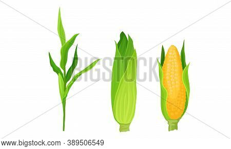 Maize Or Corn Cob And Stalk As Cereal Grain With Yellow Kernels Or Seeds Vector Set
