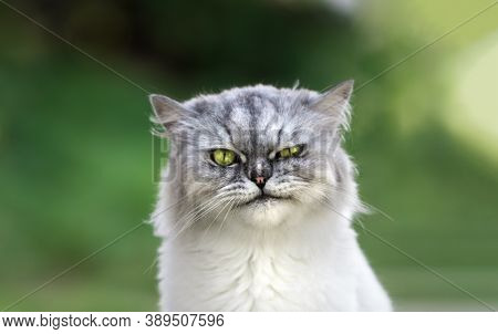 Portrait Of Playful Groomed Persian Chinchilla Grumpy Cat With Beautiful Green Eyes Looking Directly