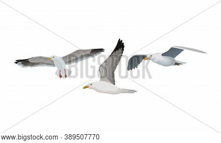 White Gulls Or Seagulls As Seabirds With Black Markings On Wings Vector Set