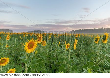 Sunflower Field Landscape Close-up. Selective Focus. Yellow Flowers