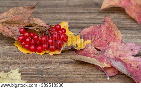 Viburnum Opulus. Clusters Of Red Viburnum On A Wooden Background. Berry On Dry Autumn Leaves.