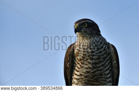 The Eurasian Sparrowhawk Portrait Of Head Close Up