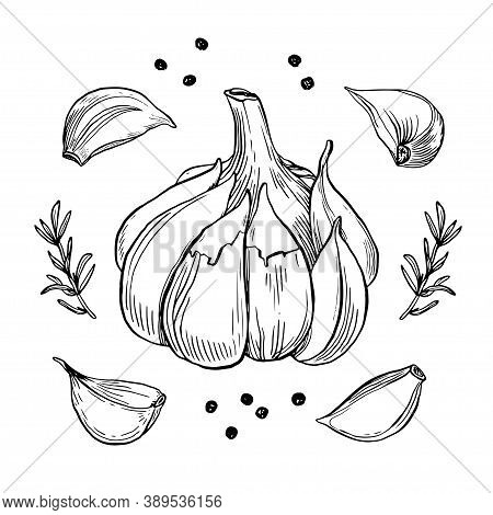 Garlic Hand Drawn Vector Illustration Set. Isolated Garlic, Cloves, Rosemary And Black Pepper. Engra