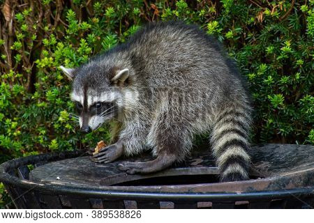 Raccoons (procyon Lotor) Eating Garbage Or Trash In A Can Invading The City In Stanley Park, Vancouv