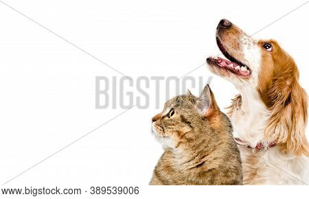 Portrait Of A Cat Scottish Straight And Dog Russian Spaniel Looking Up Together, Closeup, Isolated O