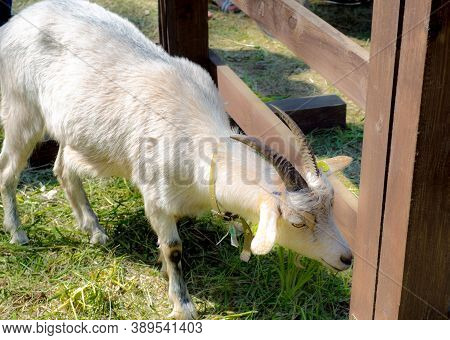 Young White Goat With Long Horns Stands At The Fence, Head Bowed. Pets. Agricultural Animal Husbandr