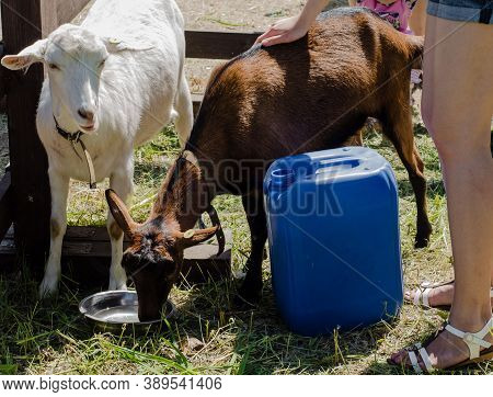 White And Brown Goats On  Farm Drink Water From A Cup. Pets. Agriculture And Animal Husbandry.