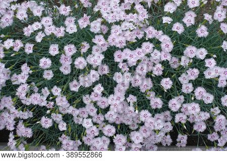 Loads Of Light Pink Flowers Of Dianthus Deltoides In May