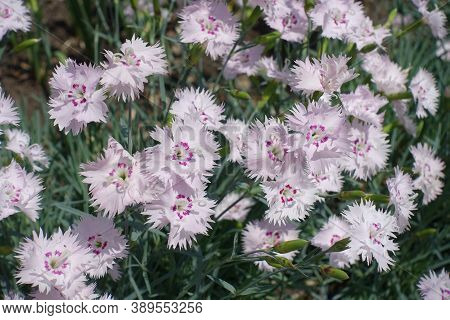 Macro Of Light Pink Flowers Of Dianthus Deltoides In May