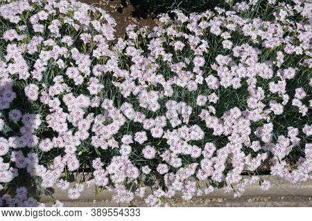 Not A Few Light Pink Flowers Of Dianthus Deltoides In May