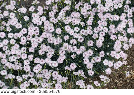 Numerous Light Pink Flowers Of Dianthus Deltoides In May