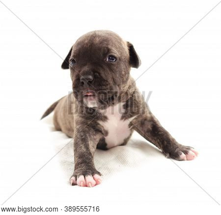Isolated Staffordshire Terrier One-month Puppy Dog. Young Puppy Dog Sitting On White Blanket. Puppy