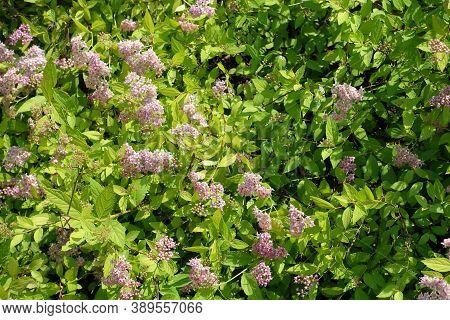Florescence Of Japanese Meadowsweet Bush In June