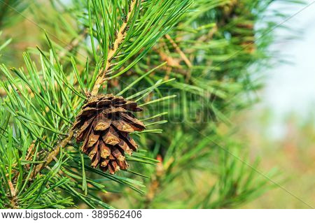 Single Closed Brown Lodgepole Pinecone On Pine Branch With Green Needles In Forest Of Mountains