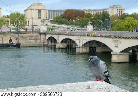 Paris, France. October 04. 2020. Pigeon In Close-up On The Banks Of The Seine River. Monument Of The