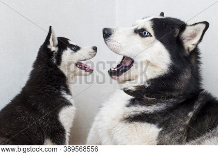 Husky And Husky Puppy Bark And Look At Each Other. Two Siberian Husky Are Playing With Each Other In