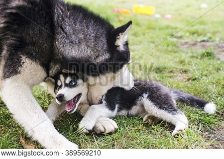 Siberian Husky Dog Is Playing With Husky Puppy On Green Grass. Two Siberian Husky Are Playing With E