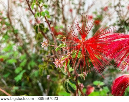 Close Up Shot Of A Beautiful Persian Silk Flower In Bright Red Color On A Shallow Depth Of Field Bac