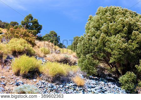 Arid Mountain Slope With Sage Plant Flower Blossoms And Pinyon Pine Trees Taken At The Panamint Moun
