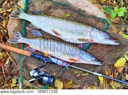 Pilsen / Czech Republic - October 13, 2020: Northern Pike catched on realistic bait Savage Gear Wobbler 4play. New technologies for fishing.