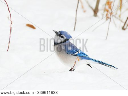 Close Up On Blue Jay In The Snow