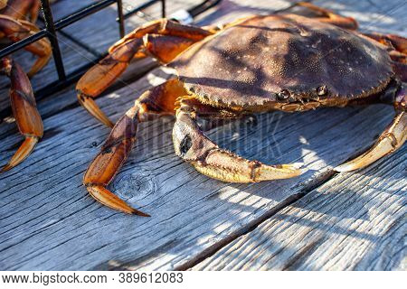 Looking Down At The Carapace Of A Male Dungeness Crab In A Crab Trap On A Wharf In Sechelt, British-