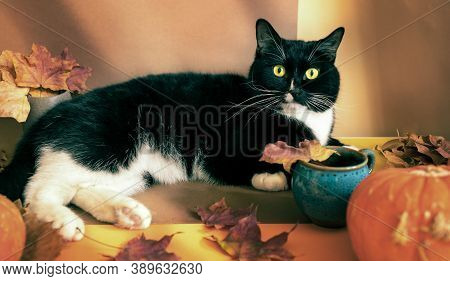 Black And White Cat Is Lying On Brown-orange Autumn Backdrop With Dry Leaves And Pumpkins And Lookin