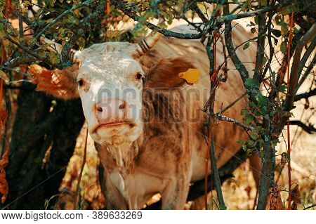 Cow With Ear Tags. A Bovine, Beige In Color, Stands Among The Trees, And Looks Directly At The Camer