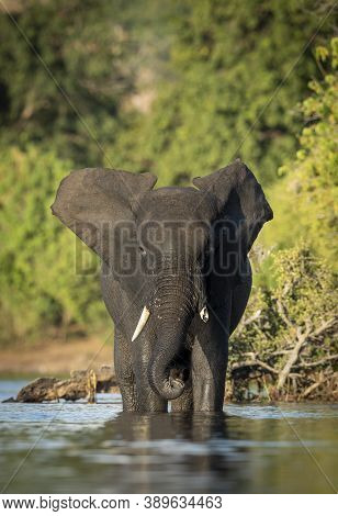 Vertical Portrait Of An Adult Female Elephant Standing In Shallow Water Of Chobe River In Golden Aft