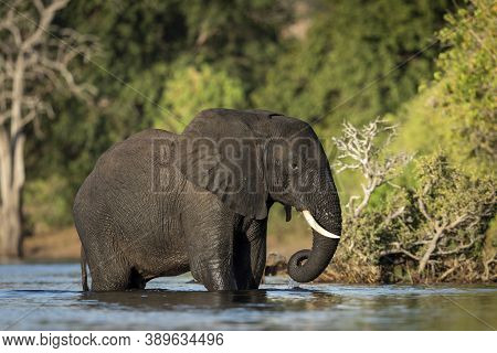 Young Elephant Standing In Water Of Chobe River With Green Bush In The Background In Botswana