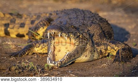 Nile Crocodile With Mouth Open Showing Teeth Lying In Sunset Light In Chobe River In Botswana
