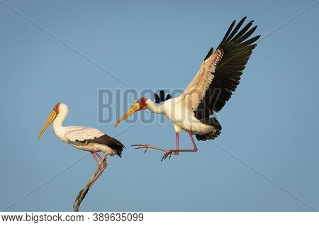 Two Yellow Billed Horn Bill In Chobe River With Blue Sky In The Background In Botswana