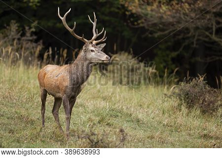 Majestic Red Deer Stag Standing On Glade In Forest In Autumn Nature.