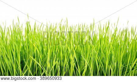 Green Wheatgrass Plant On A White Background.
