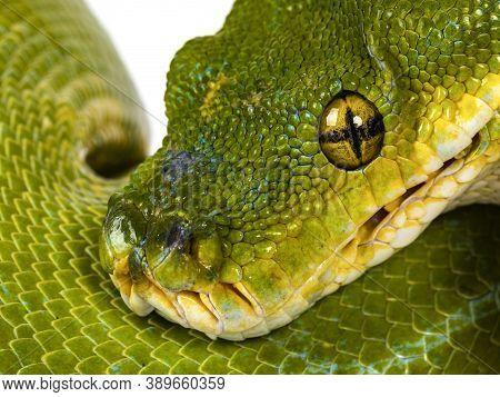 Close Up From Head Of Adult Green Tree Python Aka Morelia Viridis Hanging Over Black Pole. Isolated