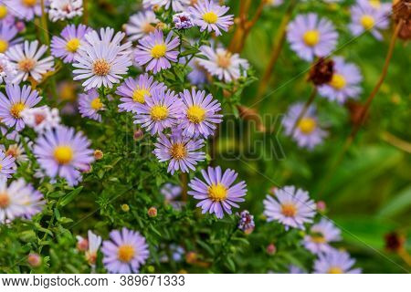 Purple Chrysanthemums. Chrysanthemums Blossom In The Autumn Garden. Background With Gentle Lilac Chr