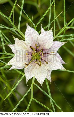 Nigella Damascena, White Flower Star. Macro. Nigella Damascena (love-in-a-mist, Ragged Lady Or Devil