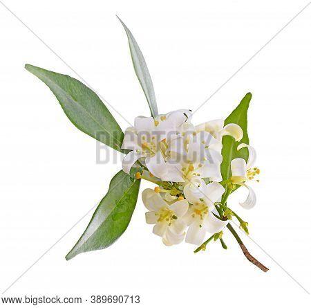 Andaman Satinwood Nature Isolated On White Background