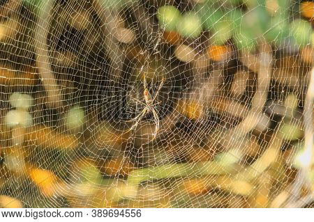 Spider Web With Autumn Background. A Spider On The Web Waiting For Its Prey. Close Up View Of The St