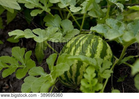 Young Watermelon Growing In The Field. Little Green Melon In The Garden. Stock Background, Photo