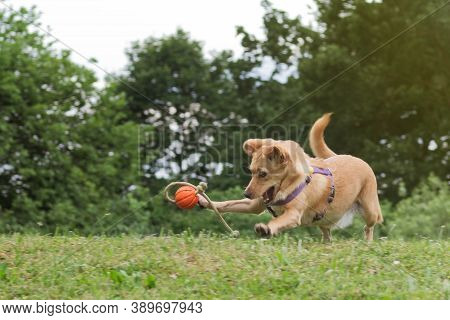 Small Brown Happy Dog In The Meadow Plays With A Ball. Dogs, Pets And Obedience Training Concepts